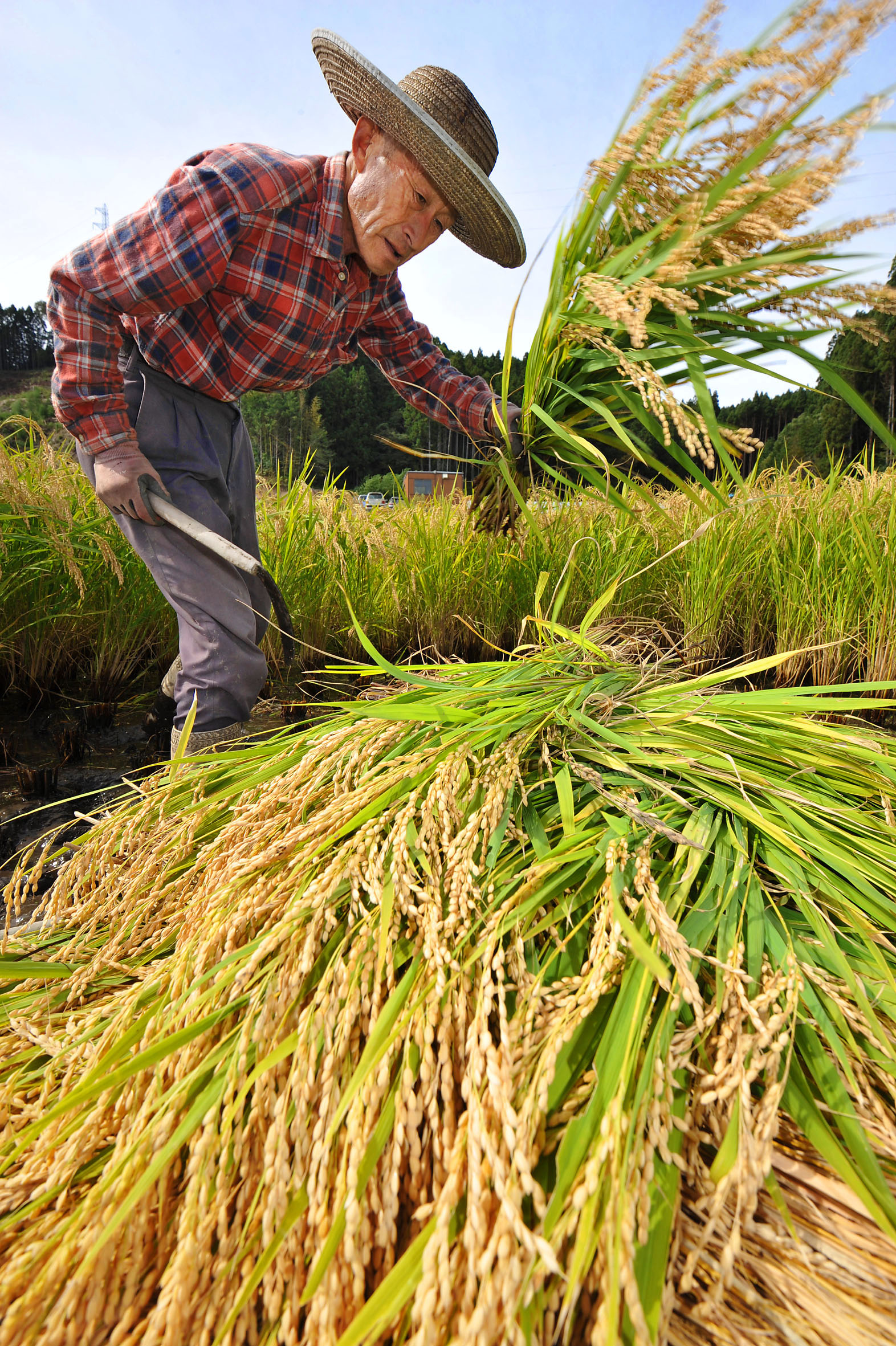 Tsuyoshi Kanno, a rice farmer of Rikuzentakata, Iwate Pref., harvests rice using a sickle.