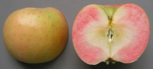 Photo shows Rose Pearl, a new mid-season apple variety suitable for both fresh consumption and processing. (Courtesy of Institute of Fruit Tree Science)