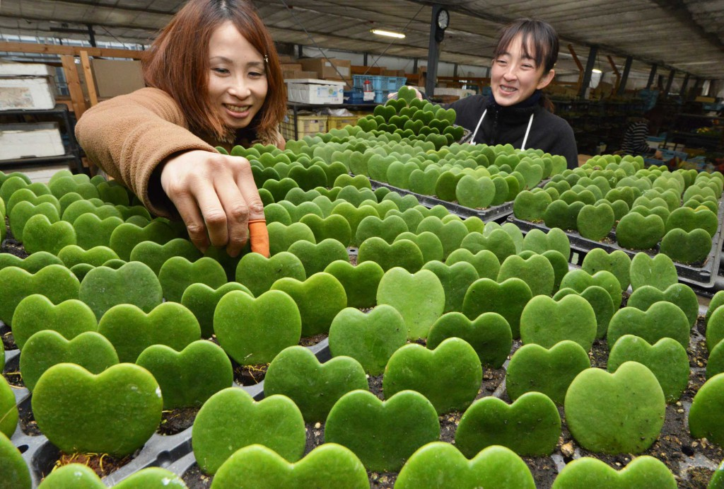 Love Love Heart, potted plants with heart-shaped leaves, line up at a plant grower in Mizuho, Gifu Prefecture.