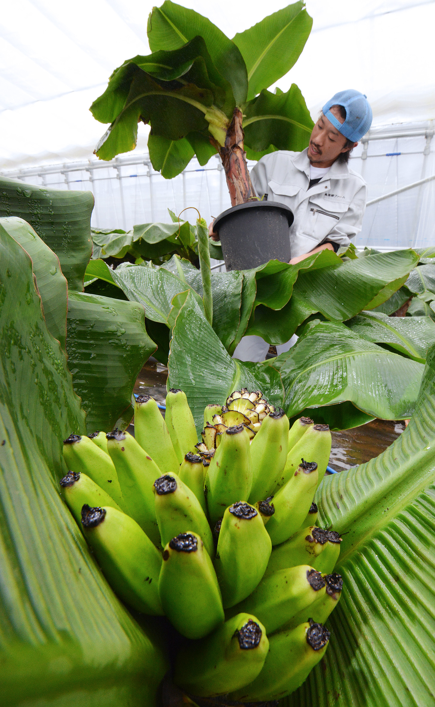 Shigeno in Takayama, Gifu Prefecture, holds a waist-high banana tree which can be grown at home to bear fruit.
