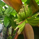 The farm offers young banana plants of around 10 different varieties.