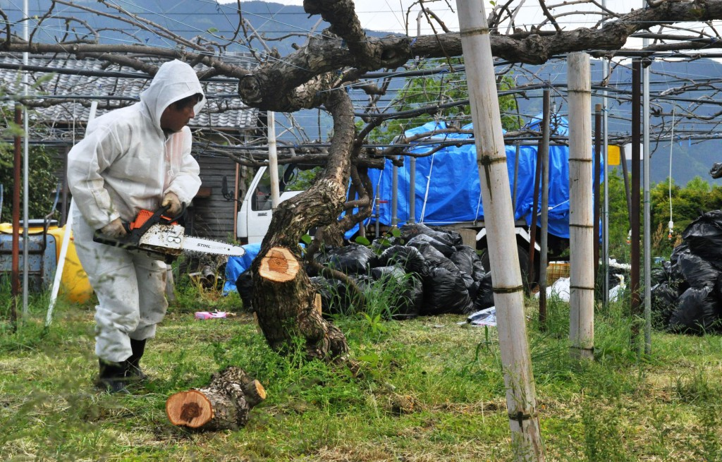 A man cuts a Psa3-infected kiwifruit tree using a chainsaw in an orchard in Saijo, Ehime Prefecture.