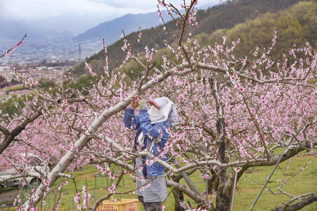 Local farmer was picking flowers in nearby peach garden