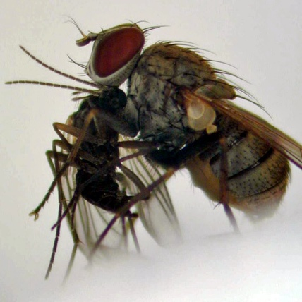 Photo provided by Kochi University's Laboratory of Insect Ecology shows a hunter fly eating a mushroom fly.