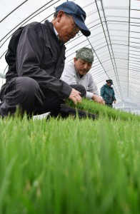 Shusaku Watanabe (left) checks young rice plants to be cultivated for feed at a greenhouse in Odate, Akita Prefecture. He says rice farmers in the region have grave concerns over the ongoing Trans-Pacific Partnership free-trade talks.