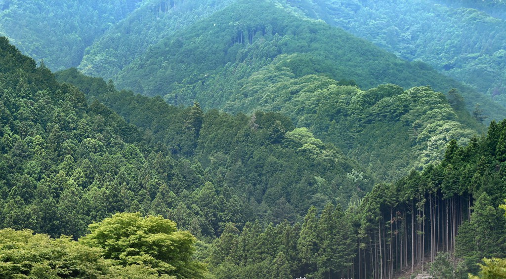 Tree farms in Nishikawa Forestry Area in Hanno-shi produce more ciders and some cypress