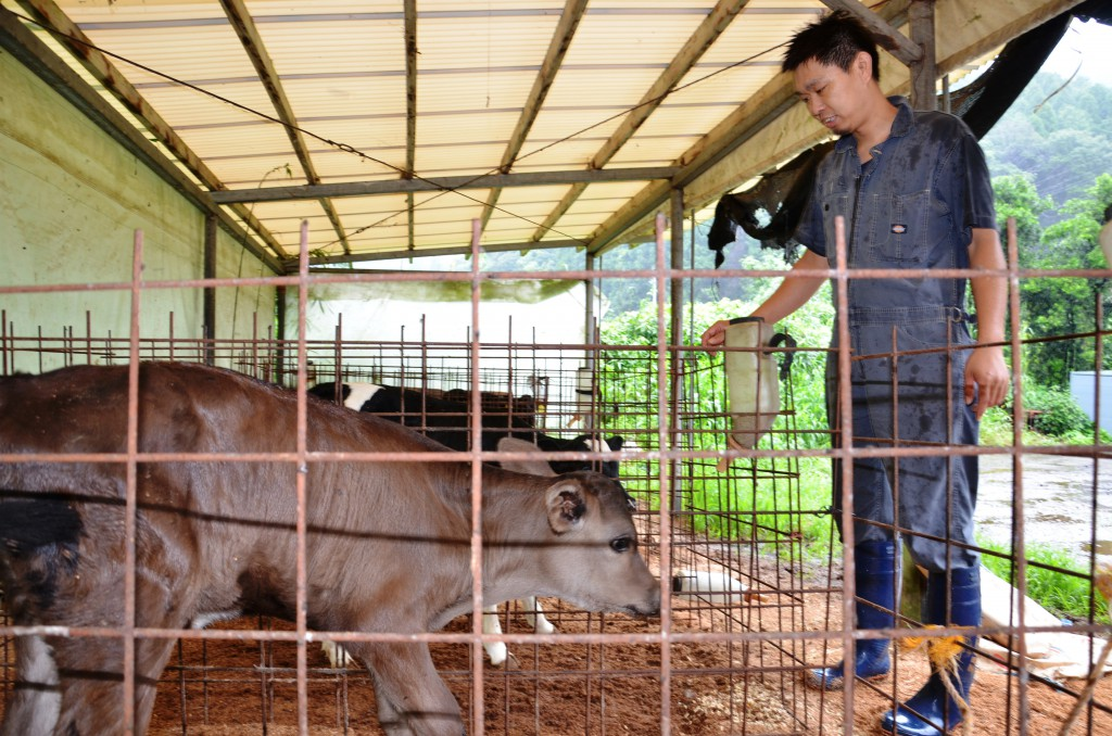 A dairy farmer of Kagoshima takes care of an F1 calf born by crossbreeding dairy cattle and Japanese Black beef cattle. Many dairy farmers are increasing the number of F1 cattle which are more profitable.