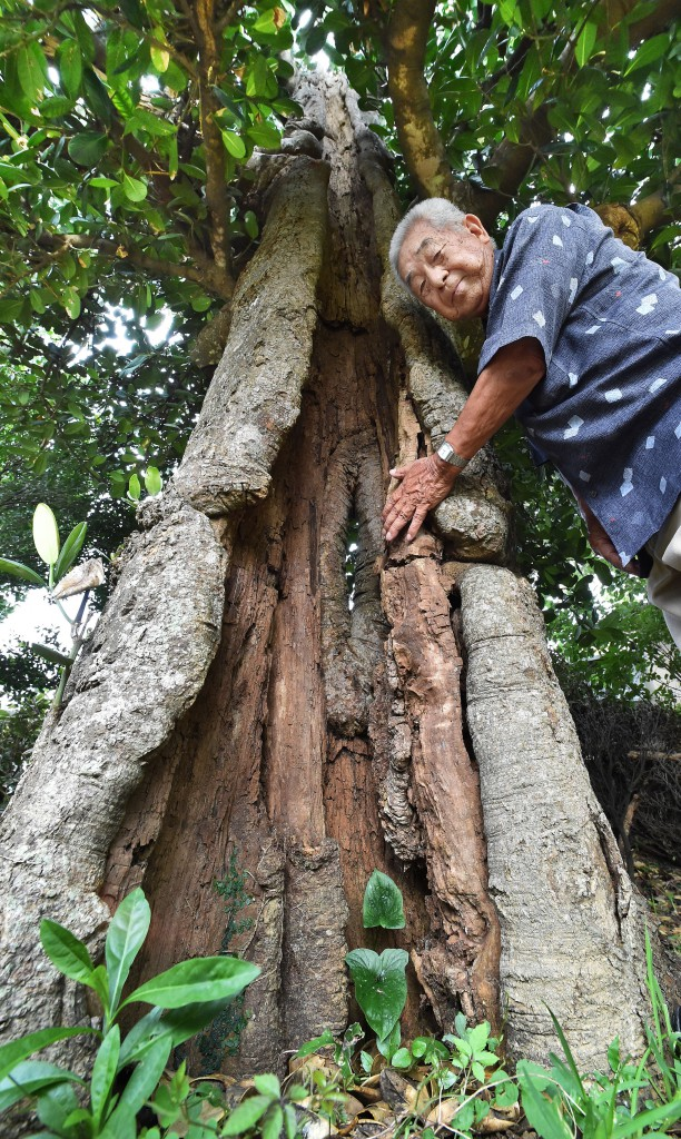 Inami putting gentle hand on hollow of war-wounded garcinia. The tree is estimated to be over 300 years old (in Yomitan Village, Okinawa Prefecture)