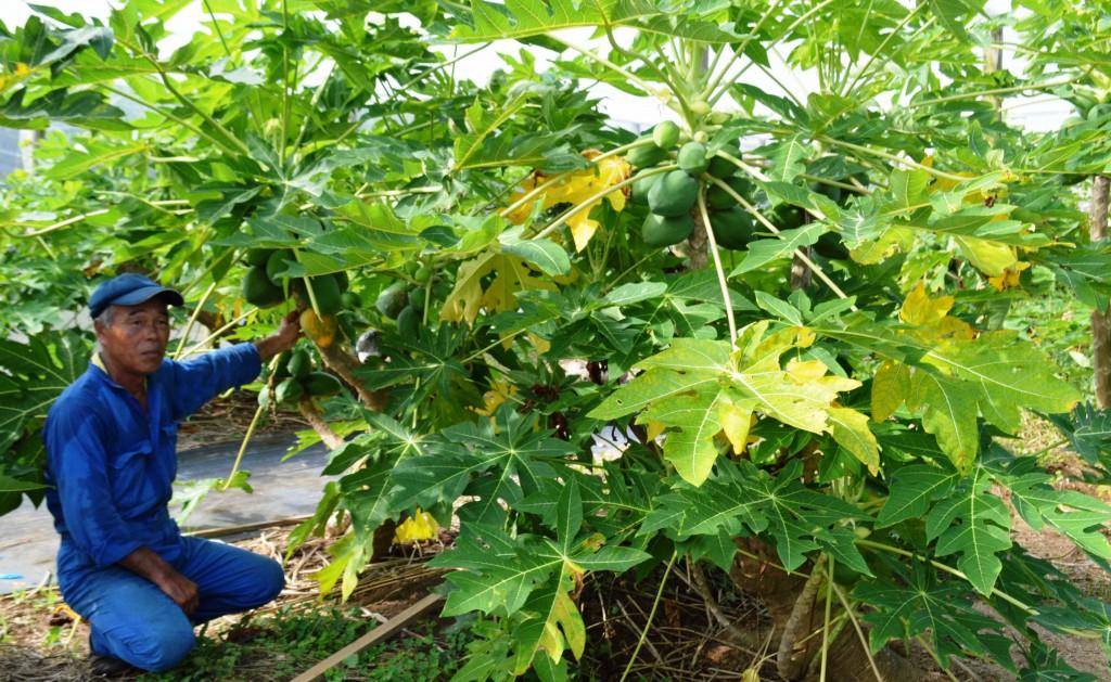 Tsuyoshi Yoshioka grows Ishigaki Sango papayas at his farm in Kikai, Kagoshima Prefecture