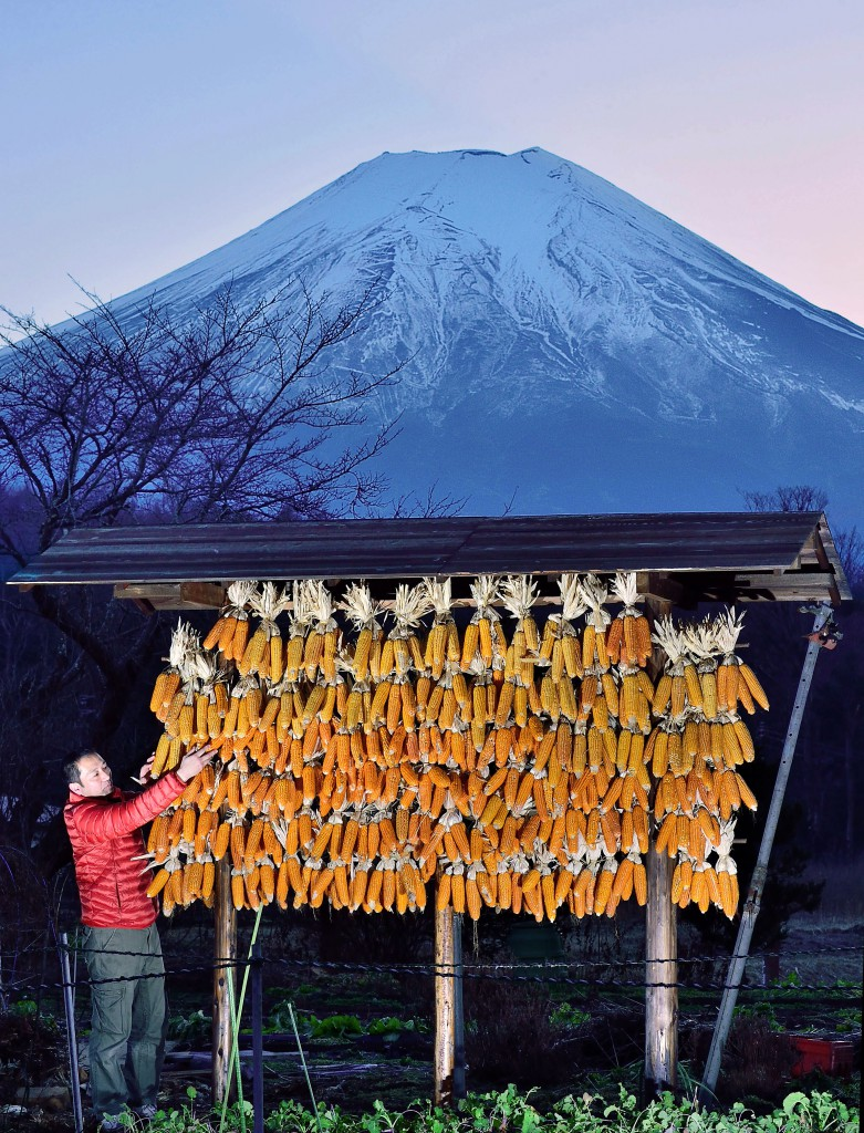You can enjoy beautiful contrast of orange corn cobs and snow-covered Mt. Fuji (in Oshino Village, Yamanashi Prefecture)